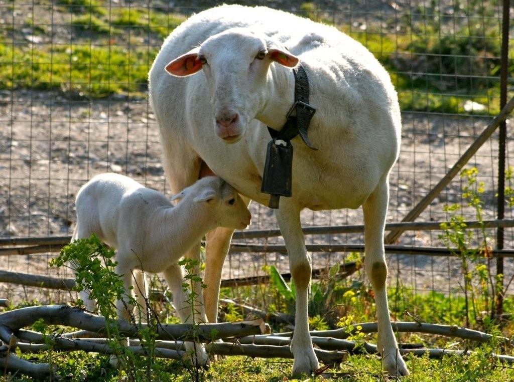 chris stewart sheep belle